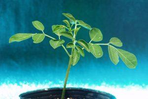 モリンガの苗